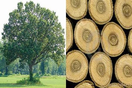 gỗ sồi, sàn gỗ sồi