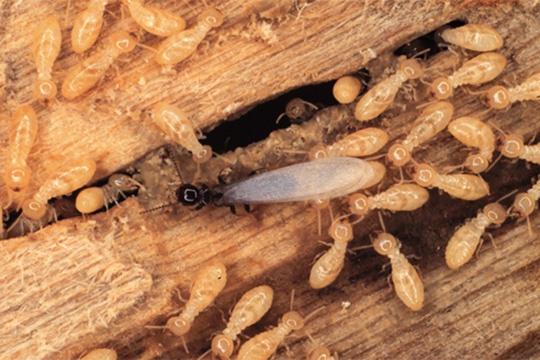 sàn gỗ bị mối tấn công